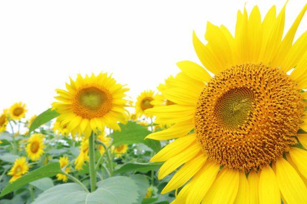 夏季休暇のお知らせ ホームページ制作|新潟, ブログ, お知らせ, OA機器|新潟, LED照明|新潟 インフォメーション株式会社
